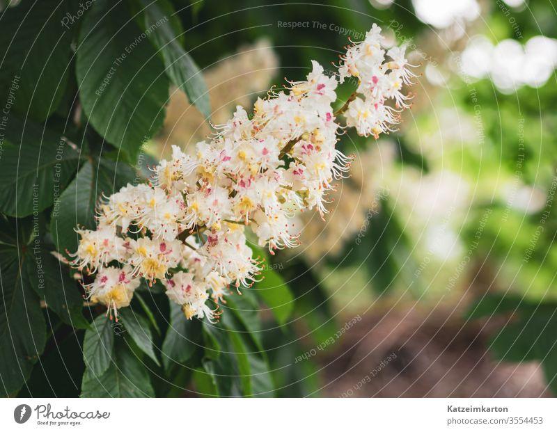 Ahornblüte Ahornblatt Blüte Blühend Überstrahlung Frühling Frühlingsblume Blume Natur natürlich Textfreiraum unten Textfreiraum rechts Hintergrund