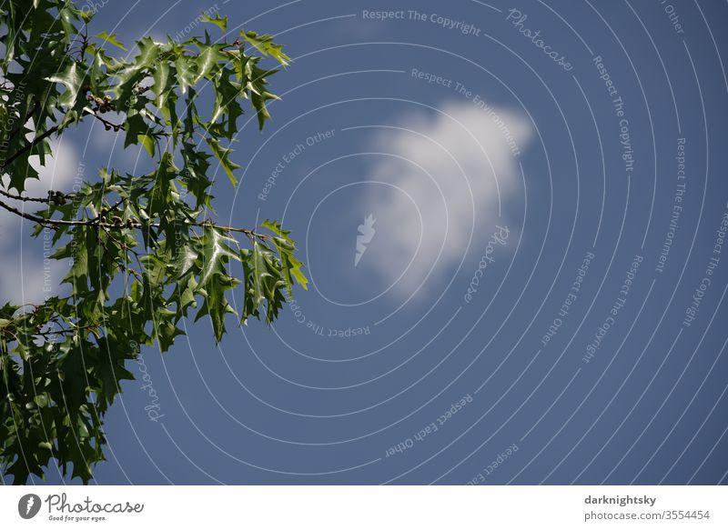 Quercus rubra bei strahlend blauem Himmel Baumwipfel Detail Eiche Roteiche Wolke Ast Blätter Klima Wechsel Natur Pflanze Blatt Außenaufnahme Zweig Eichenblatt