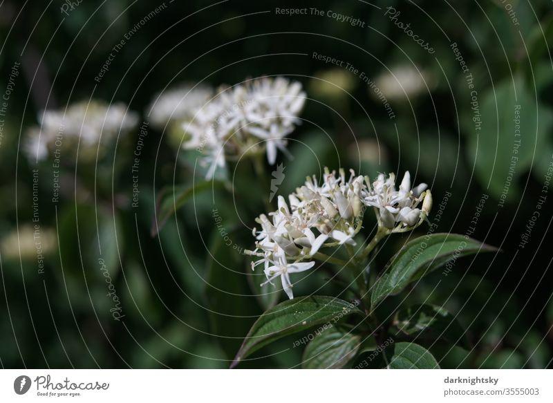 Cornus sanguinea Hartriegel Blüte Cornaceae Frühöing sommer strauch blüte weiße garten bokeh Natur Garten Farbfoto Pflanze Schwache Tiefenschärfe Nahaufnahme