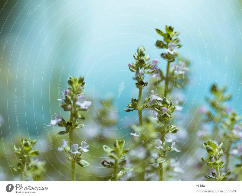 es duftet nach Thymian Umwelt Frühling Sommer Pflanze Nutzpflanze Garten Blühend Duft ästhetisch frisch Gesundheit schön klein natürlich blau grün türkis weiß