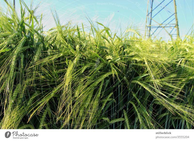 Gerstenfeld im Mai, Strommast im Hintergrund Feld Getreide Landwirtschaft grün Natur Ähren Wachstum Nutzpflanze Kornfeld