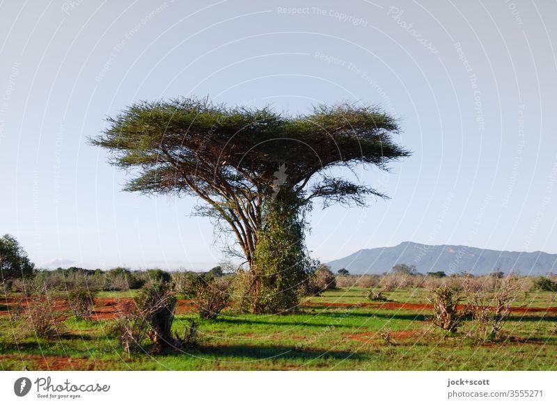 flaumig behaarter Baum steht in der Savanne herum Nationalpark Kenia Afrika Natur Landschaft Schönes Wetter authentisch Naturerlebnis Sonnenlicht Inspiration