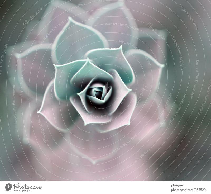 Suck Ulente Natur Pflanze Blatt Blüte Grünpflanze exotisch außergewöhnlich grün violett rosa Sukkulenten Crassula Hauswurz Farbfoto Gedeckte Farben