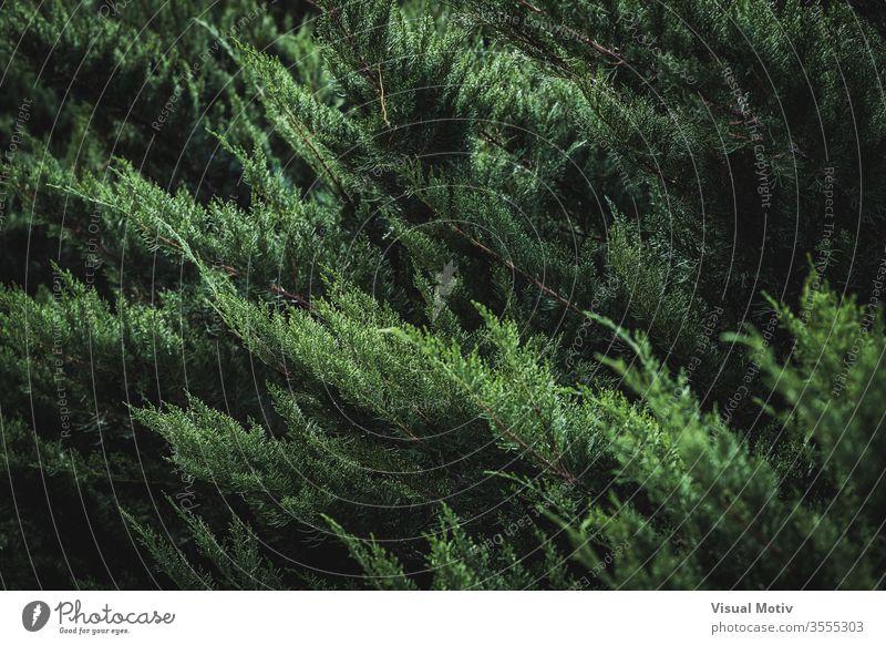 Dunkelgrünes Blattwerk von Cupressus sempervirens, auch bekannt als Mittelmeerzypresse, Italienische Zypresse, Toskanische Zypresse oder Persische Zypresse Baum