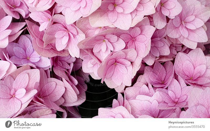 Rosa Hortensienblüte mit floralem Hintergrund rosa Hintergrund rosa Blumen Blumenhintergrund blühender Hintergrund Roséwein Makro-Blumen Fliederbusch