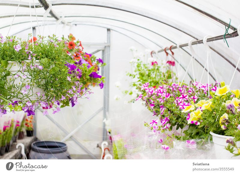 Verkauf von mehrfarbigen Petunien, die im Gewächshaus gezüchtet werden. Selektiver Schwerpunkt. Blume Hintergrund Business geblümt Baum Haus Muster Sommer Natur