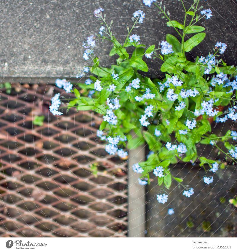 Vergissmeinnicht Häusliches Leben Garten Kunst Umwelt Natur Pflanze Tier Frühling Blume Fußmatte Wachstum frech frei blau grün Optimismus Erfolg Kraft
