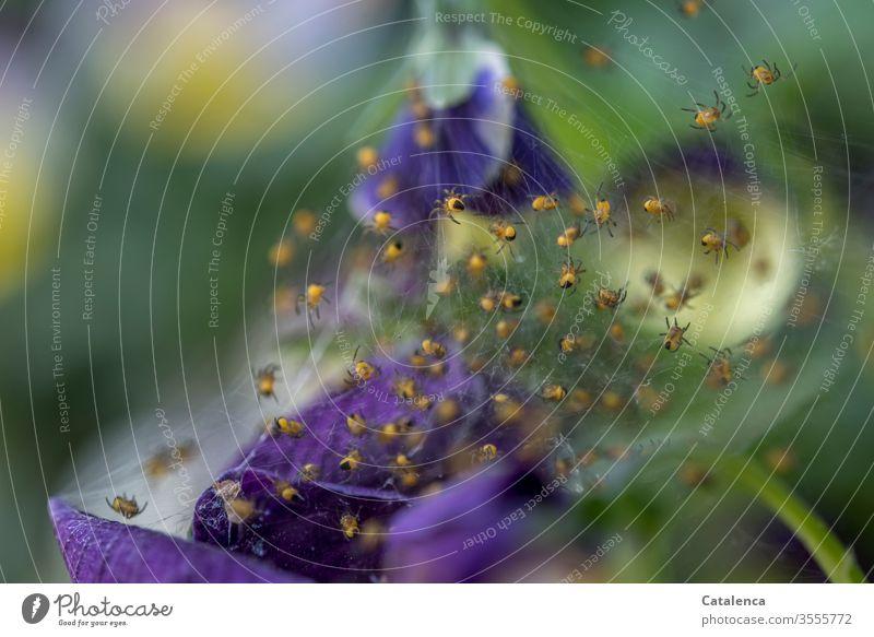 1300 Spinnchen krabbeln in die Selbstständigkeit Fauna Flora Arachnides Tier Spinnennetz klein Pflanze Blütenblätter Stiefmütterchen blühen Frühling grün gelb