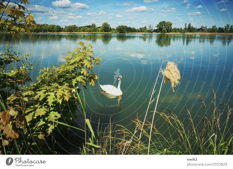 Aufpasser Schwan Landschaft Flora Fauna See Wasser Wasseroberfläche windstill Idylle Sträucher Baum Zweige Laub Laubbaum Horizont Himmel Wolken Natur