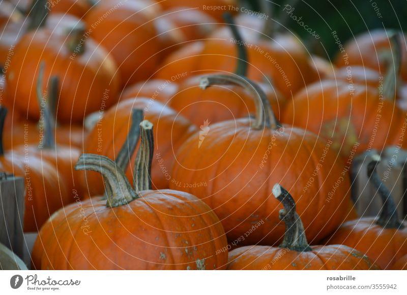 reichhaltige Ernte Kürbisse | lebensnotwendig Erntedank viele orange Gemüse Feiertag Halloween frisch Lebensmittel Nahrungsmittel biologisch Ernährung gesund