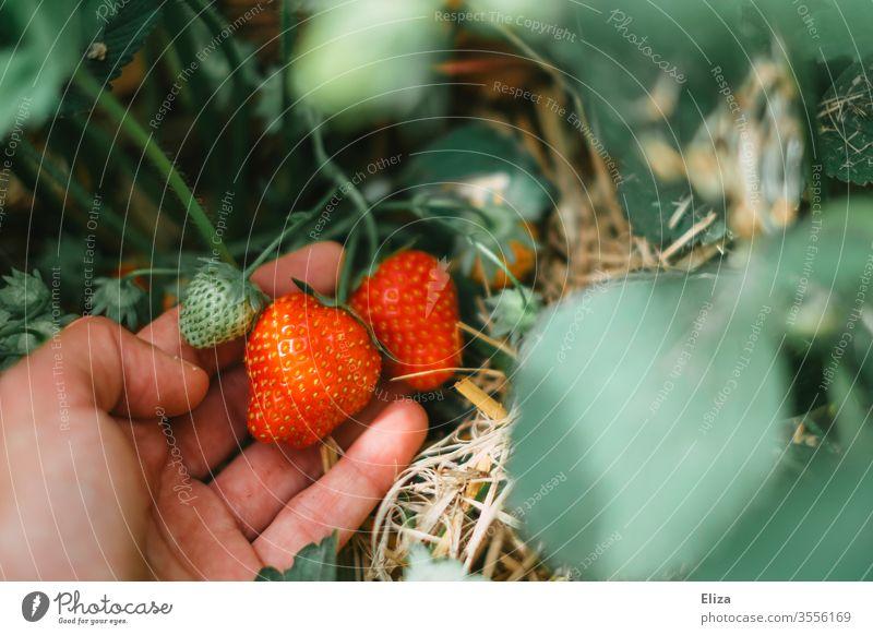 Eine Hand beim Erdbeeren selber pflücken und ernten auf dem Erdbeerfeld reif Pflücken sammeln rot lecker Feld Erdbeerpflanze gesund frisch regional lokal Ernte
