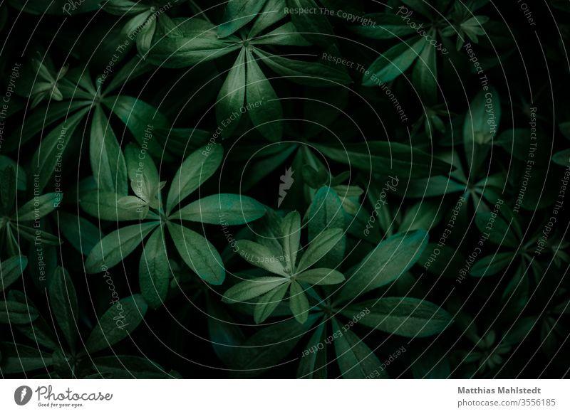 Waldmeister grün Pflanze Blatt Natur Makroaufnahme Nahaufnahme Lichtspiel Lichterscheinung Schatten Hintergrund Menschenleer Außenaufnahme Detailaufnahme