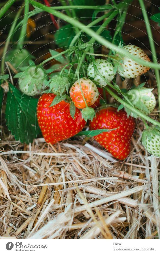 Reife und unreife Erdbeeren am Strauch auf einem Erdbeerfeld selbst gepflückt Feld ernten Ernte lecker fruchtig Sommer rot lokal regional pflücken Lebensmittel