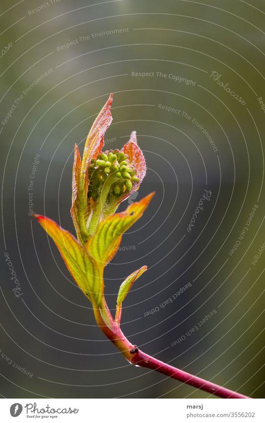 Blätter und Blütenknospen vom Hartriegel zum Bersten voll prall gefüllt Überfluss Zusammenhalt rein platzen komplex Freiheit Erwartung Hoffnung Tatkraft Mut