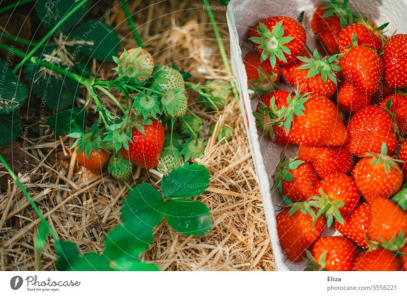 Ein Körbchen voller reifer frisch gepflückter Erdbeeren neben einem Erdbeerstrauch auf dem Erdbeerfeld Pflücken selber sammeln rot lecker Feld gesund regional