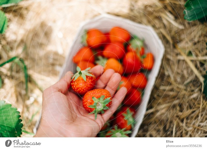 Eine Hand hält frische Erdbeeren beim selber pflücken auf dem Erdbeerfeld reif Pflücken sammeln rot lecker Feld gesund regional lokal Ernte Sommer Obst Frucht