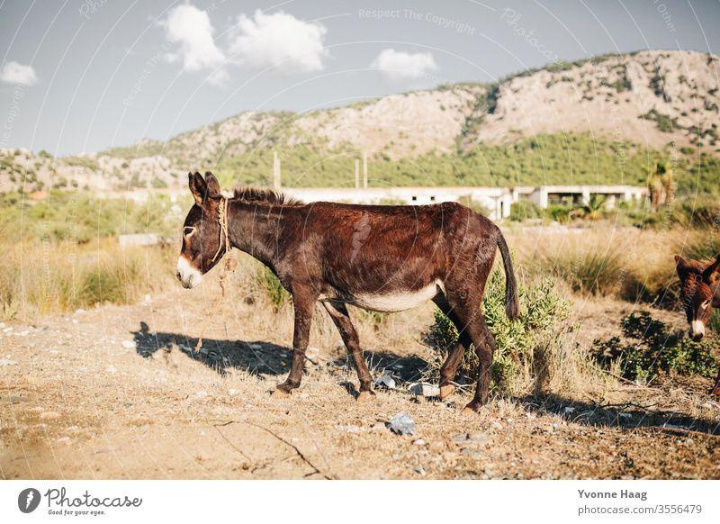 Esel Sommer Sommerurlaub Eselsohr Außenaufnahme Tier Farbfoto Tierporträt Natur Neugier Blick in die Kamera braun Menschenleer Nutztier Tiergesicht Tag Fell Ohr