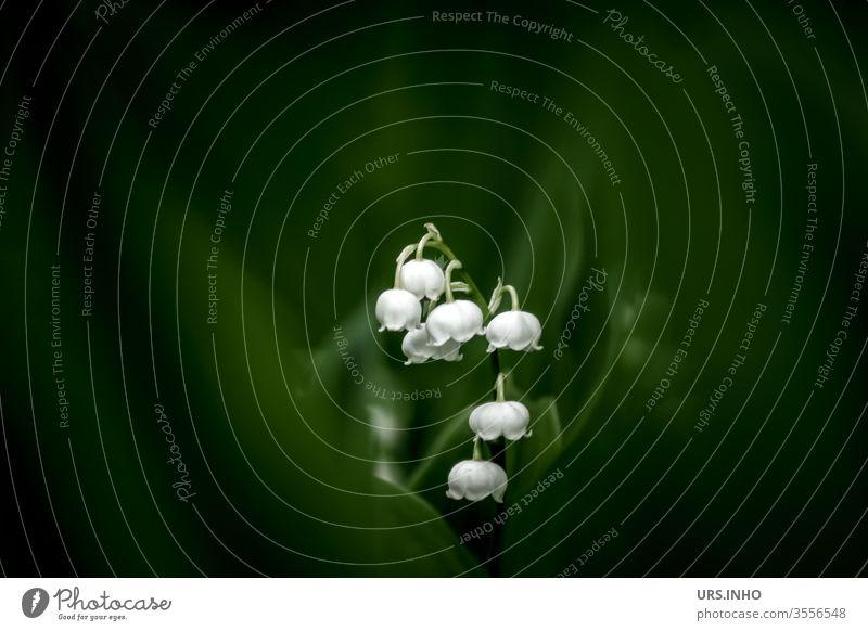 Maiglöckchen verstecken sich hinter dunklem Blattgrün giftig Frühlingsboten Pflanze Natur Blüte Blume Textfreiraum dunkelgrün weiß schwache Tiefenschärfe