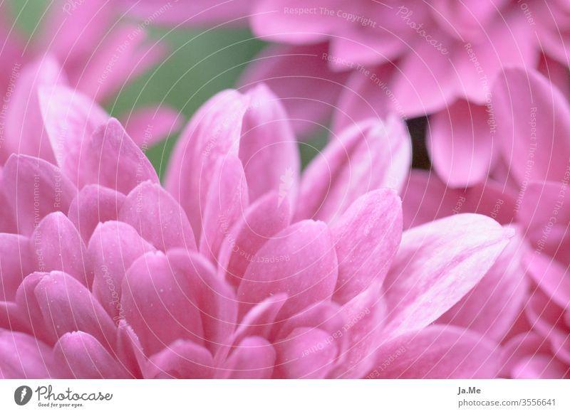 Rosa Blume rosa Blüten im Garten vor rosa grünem Hintergrund Makro pink Natur Flora Gerbera Dahlie Primel Nahaufnahme Tag Frühling romantisch schön Sommer