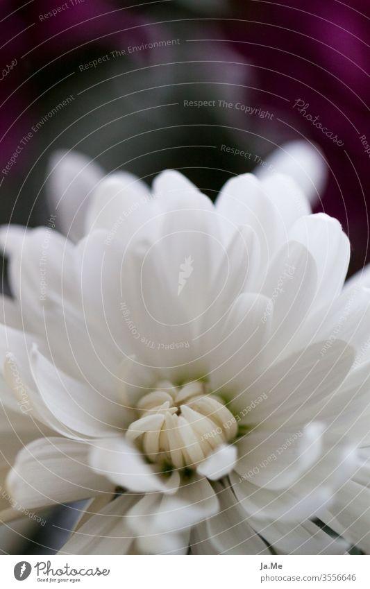 Weiße Blüte weiße Blume vor dunklem Hintergrund Makro Dahlie Gerbera Pflanze Makroaufnahme Blühend Detailaufnahme Blütenblatt Natur rosa Sommer Garten Unschärfe