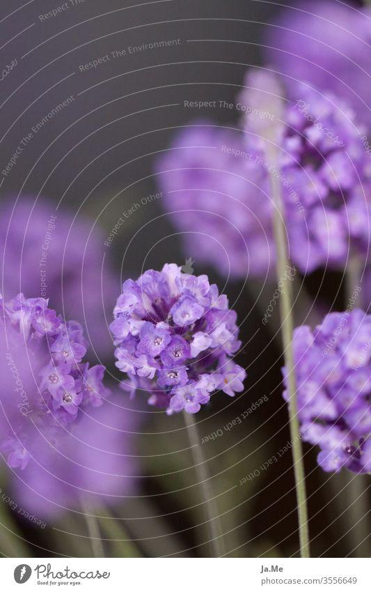 Lavendel Lavendelblüte vor dunkelgrünem Hintergrund lila Pflanze Flora Garten Natur Makro Blau Blume Blüte blühen Tag Sommer frühling Nahaufnahme unscharf