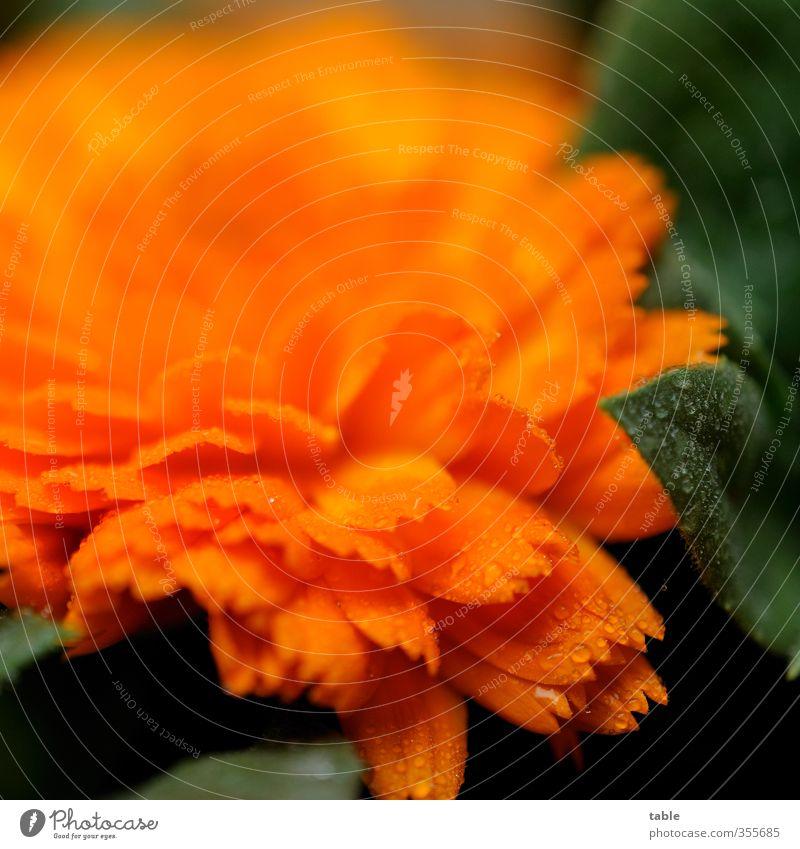 Burzeltagstautropfenblümchenmakro Alternativmedizin Sommer Umwelt Natur Pflanze Wassertropfen Blume Blatt Blüte Nutzpflanze Wildpflanze Topfpflanze Blühend Duft