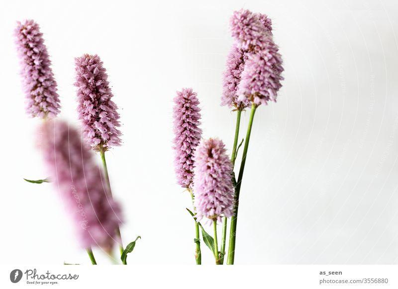 Schlangen-Knöterich Blume Blüte Pflanze grün Natur Makroaufnahme weiß Farbfoto Nahaufnahme Blühend Menschenleer Detailaufnahme Schwache Tiefenschärfe