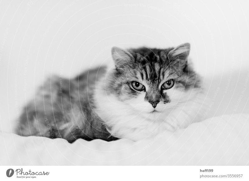 Porträt einer Katze Tierporträt Haustier Hauskatze Tiergesicht Katzenauge beobachten Katzenkopf niedlich Schnurrhaar Fell Blick Blick in die Kamera 1 kuschlig
