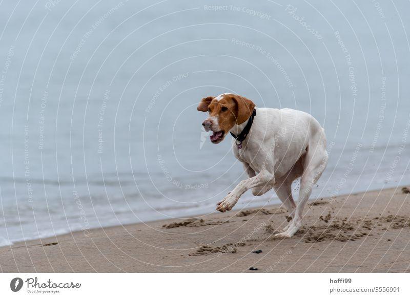 Hund läuft am Strand Küste Natur Spielen 1 Haustier Lebensfreude Freude Bewegung Wasser Tierporträt Glück agility bewegung Kraft Fell verrückt rennen entdecken