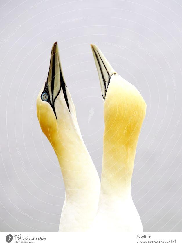 Basstölpelpärche beim Balzen auf dem Vogelfelsen auf der Insel Helgoland Tier Natur Außenaufnahme Farbfoto Tag Wildtier Menschenleer Umwelt Tierporträt