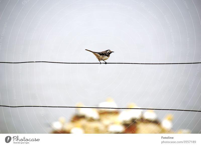 Eine kleine Bachstelze sitzt auf einem Zaun und beobachtet die laut schnatternden Basstölpel auf dem Vogelfelsen von Helgoland Tier Natur Außenaufnahme Farbfoto