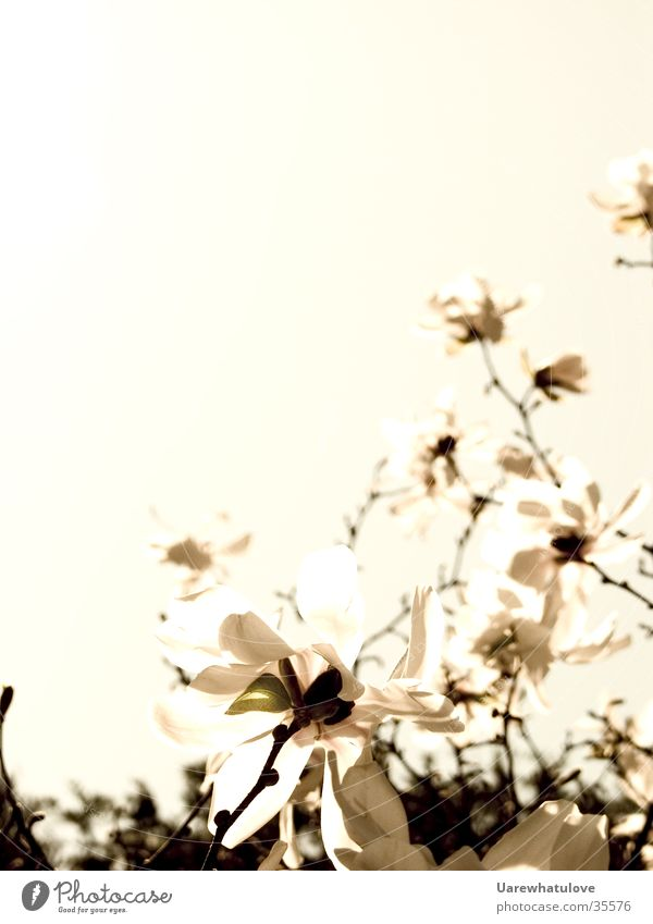 Blüten zum Gedicht alt Himmel dunkel Stil hell elegant Horizont Baumkrone
