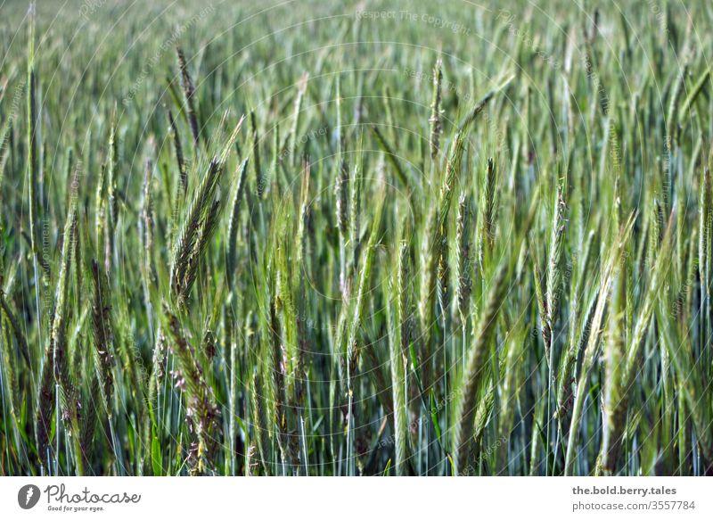 Weizenfeld Feld Getreide Getreidefeld Getreideähre Weizenähre Ähre grün Natur Pflanze Nutzpflanze Sommer Landwirtschaft Wachstum Ähren Kornfeld Außenaufnahme