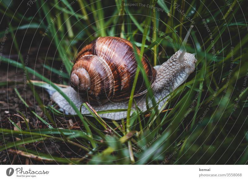 Weinbergschnecke Schnecke Fauna Schneckenhaus kriechen Gras groß Wildtier Tier glänzend braun grün Nahaufnahme Natur Tierporträt Froschperspektive Fühler
