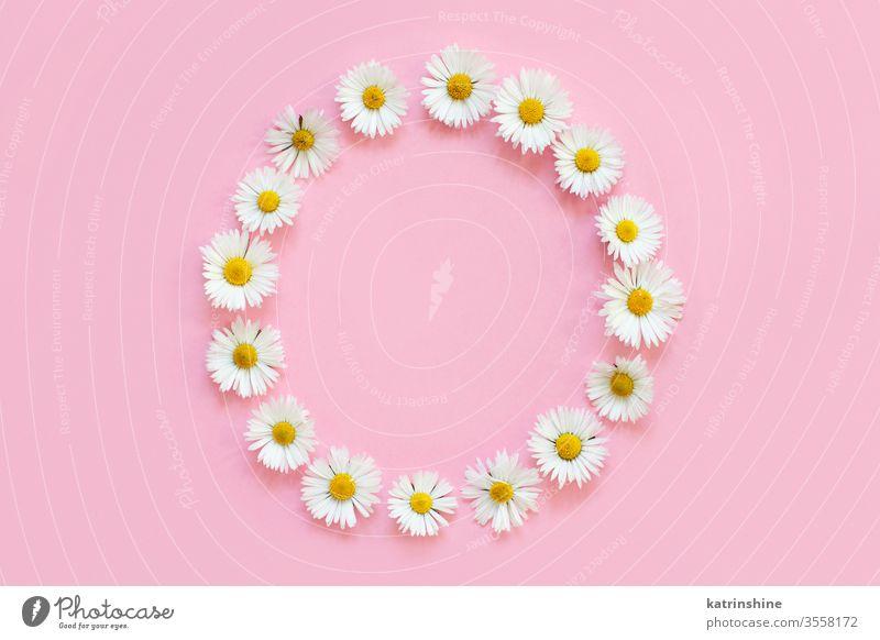 Rahmen aus weißen Gänseblümchen auf einem hellrosa Hintergrund Blume Liebe romantisch flache Verlegung Draufsicht kreisen Borte oben Konzept kreativ Tag Dekor
