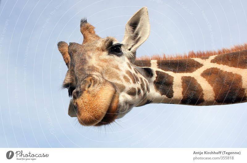 Halloooooo - du da blau Freude Tier lustig außergewöhnlich braun Wildtier groß Fröhlichkeit niedlich Coolness Freundlichkeit Neugier Fell Tiergesicht Zoo