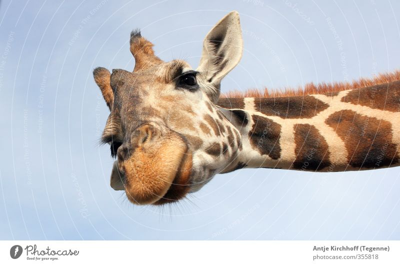 Halloooooo - du da Tier Wildtier Tiergesicht Fell Zoo 1 außergewöhnlich Coolness frech Freundlichkeit groß lustig Neugier niedlich blau braun Freude