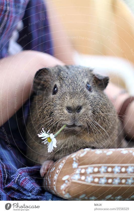 Blümchen für Mausi Meerschweinchen Haustier Gänseblümchen Blume Blüte Fressen Essen füttern Tier Tierporträt Tiergesicht Tierliebe Streicheln sitzen genießen