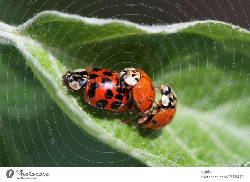 flotter dreier - asiatische marienkäfer Marienkäfer Asiatischer Marienkäfer Käfer Insekt rot Makroaufnahme Tier grün Natur Pflanze Farbfoto Glück Außenaufnahme