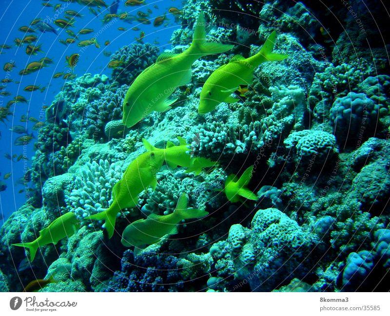 Goat Fish Meer Fisch tauchen Unterwasseraufnahme Ägypten Afrika