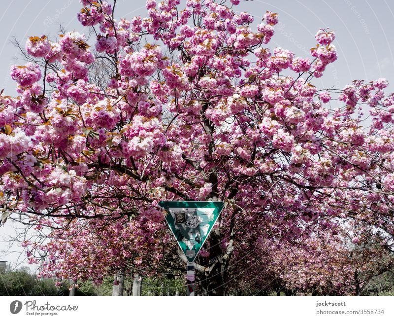Zeichen von geschützten Grünflächen inmitten blühender Kirschblüten Blühend Frühling Kirsche rosa Kirschbaum Natur Park Mauerpark Blüten Frühlingsgefühle Idylle