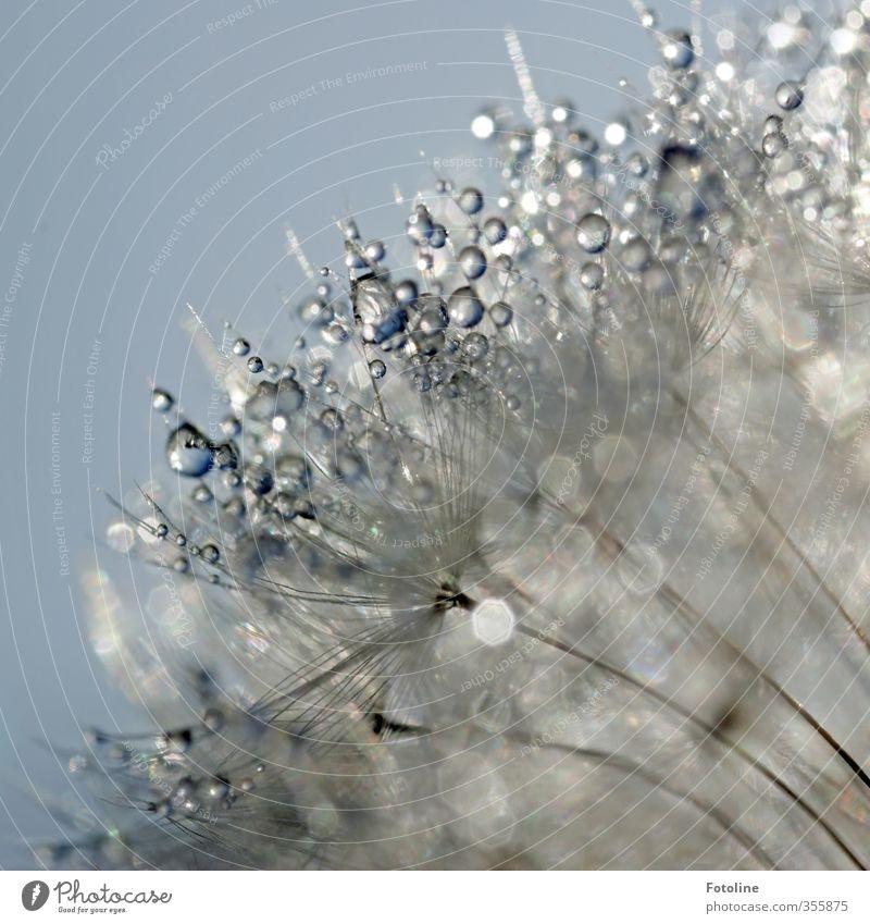 Gefunkel Umwelt Natur Pflanze Urelemente Wasser Wassertropfen Himmel Wolkenloser Himmel Sommer Schönes Wetter Blume Garten nass natürlich Löwenzahn Farbfoto