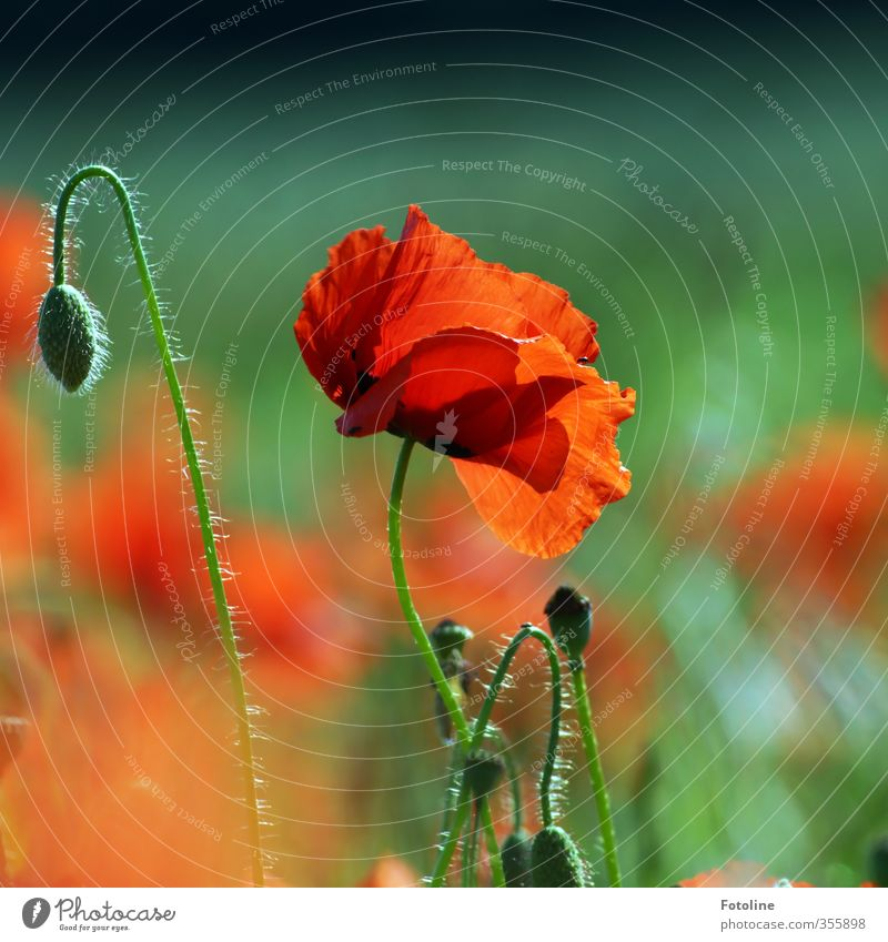 Rot wie...Mohn Umwelt Natur Pflanze Sommer Schönes Wetter Blume Blüte Garten Park Feld nah natürlich schön Wärme grün rot Mohnblüte Mohnfeld Mohnkapsel Farbfoto