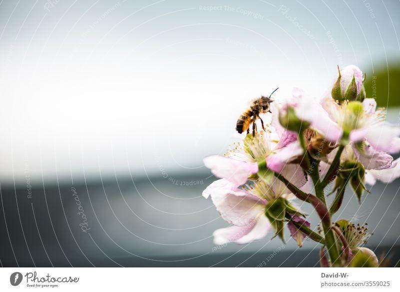 Biene auf Brombeerblüten Brombeerbusch Brombeeren Blüte Blütenknospen Blühend bestäuben Natur bestäubt Blütezeit Frühling Pflanze Blume Garten Makroaufnahme