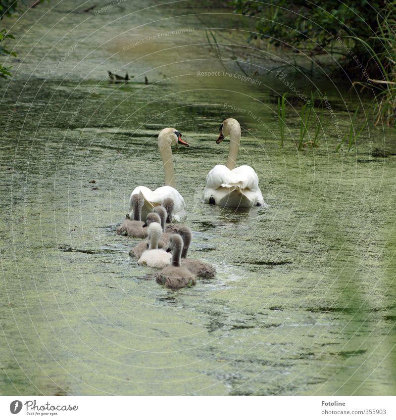 Familienausflug ins Grüne Umwelt Natur Pflanze Tier Urelemente Wasser Frühling Bach Fluss Wildtier Vogel Schwan Tierjunges Tierfamilie nass natürlich grau grün
