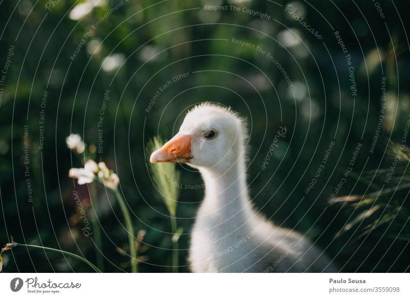 Gänsebaby Hausgans Gänsevögel Vogel Nutztier Landwirt Bauernhof Tier Außenaufnahme Farbfoto Tierporträt Natur Federvieh Tag Entenvögel Wiese