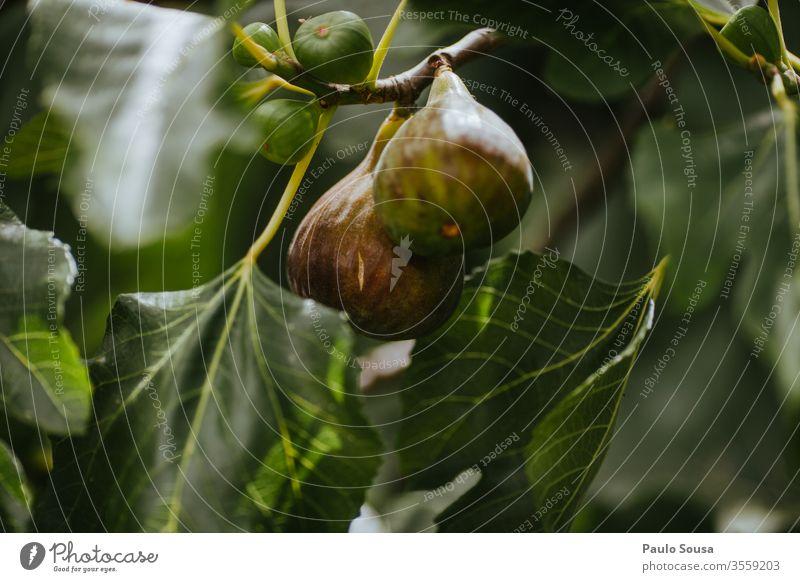 Nahaufnahme einer Feige in einem Baum Frucht Bioprodukte organisch Biologische Landwirtschaft Gesundheit Gesunde Ernährung Lebensmittel lecker natürlich