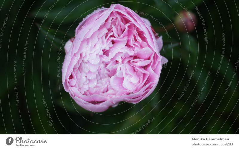 Pfingstrose Pfingstrose pfingstrose peony Blume rosa Blüte Frühling frisch schön Farbfoto Natur Nahaufnahme Garten Blühend Detailaufnahme Duft Makroaufnahme