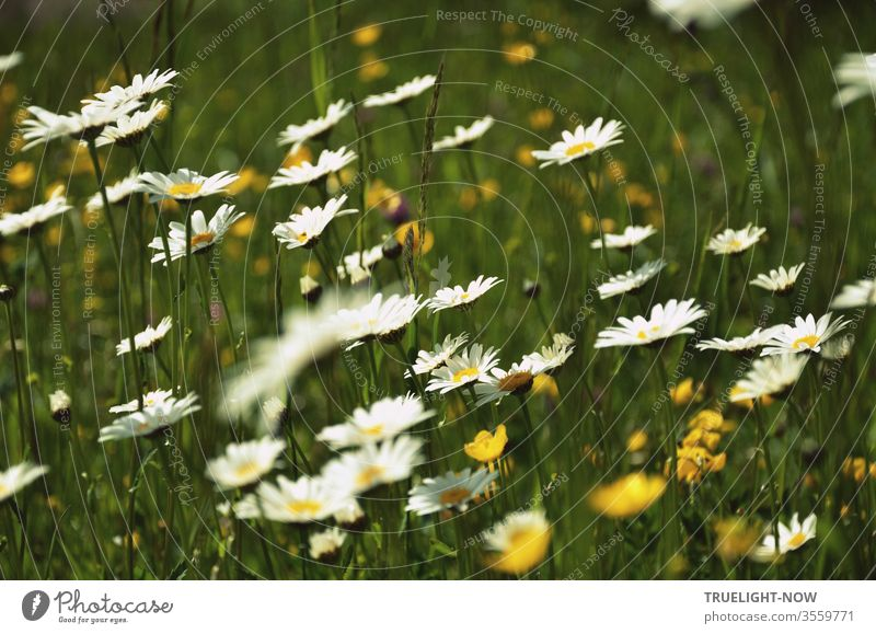 Leuchtend blühende Margeriten und Butterblumen auf einer gesunden bayerischen Weide Blumenwiese Wiese Natur Umwelt frisch Frühling Sommer weiß gelb grün