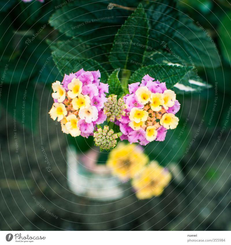 Wandelröschen Natur Pflanze grün schön Sommer Blume Blatt Umwelt gelb Blüte Frühling klein Garten Feste & Feiern rosa Wohnung